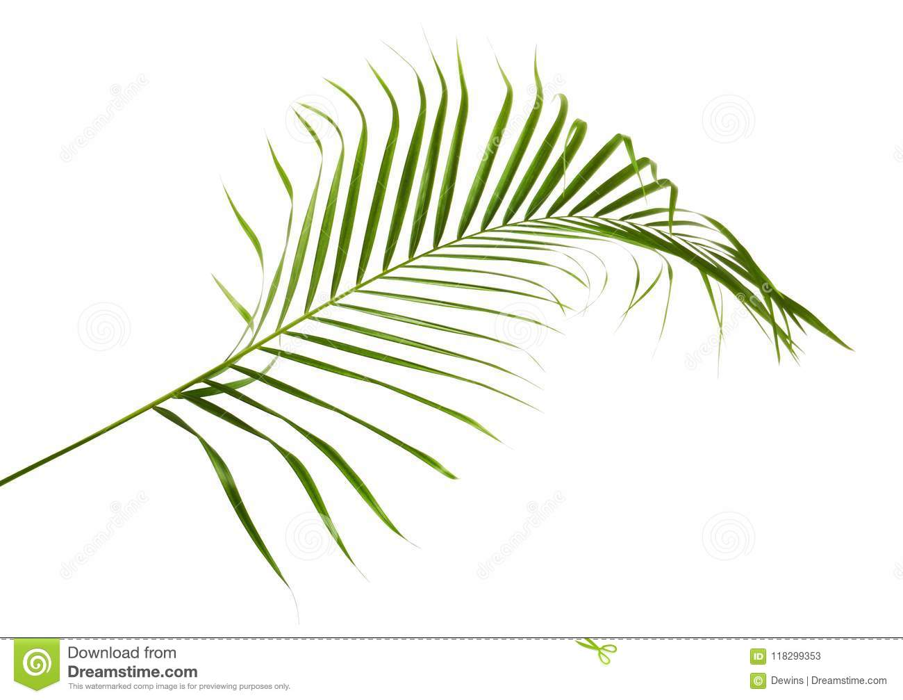 Yellow Palm Leaves Dypsis Lutescens Or Golden Cane Palm Areca Palm Leaves Tropical Foliage Isolated On White Background Stock Image Image Of Isolated Evergreen 118299353