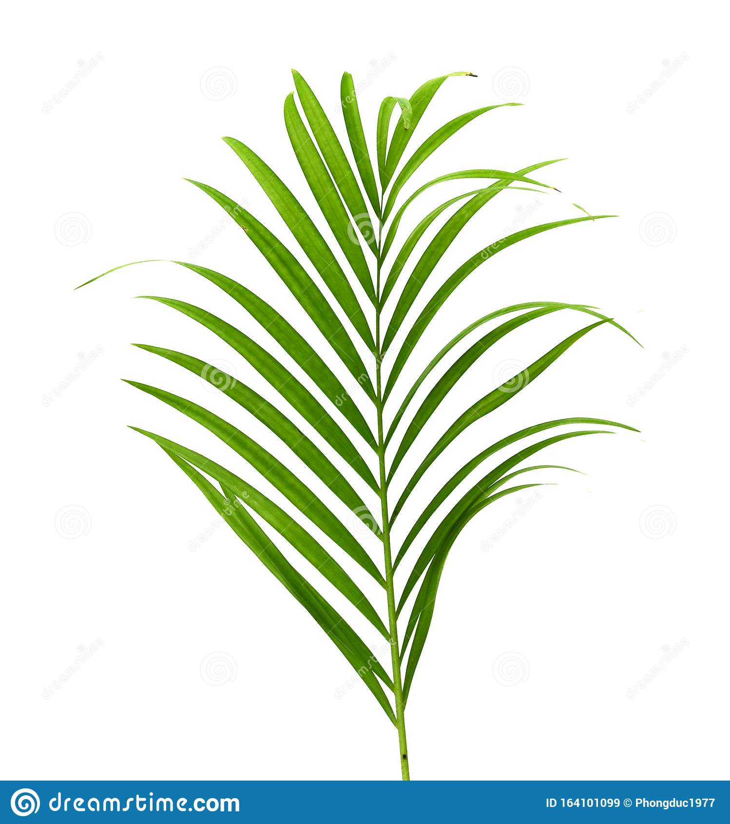 Yellow Palm Leaves Dypsis Lutescens Or Golden Cane Palm Areca Palm Leaves Tropical Foliage Isolated On White Background Stock Image Image Of Palm White 164101099