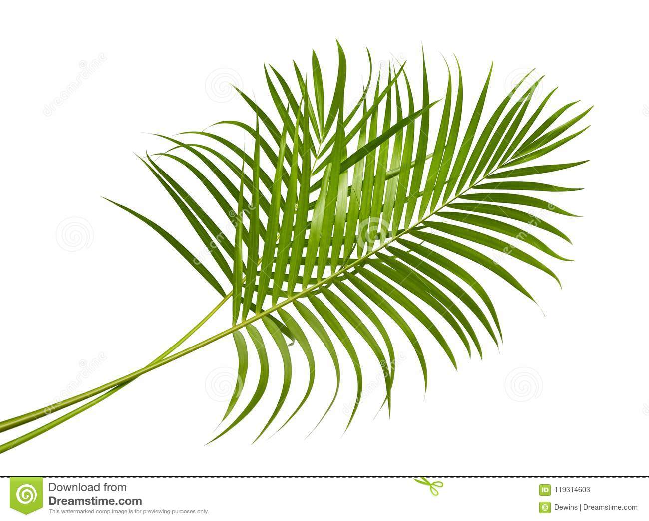 Yellow Palm Leaves Dypsis Lutescens Or Golden Cane Palm Areca Palm Leaves Tropical Foliage Isolated On White Background Stock Image Image Of Botanic Frond 119314603