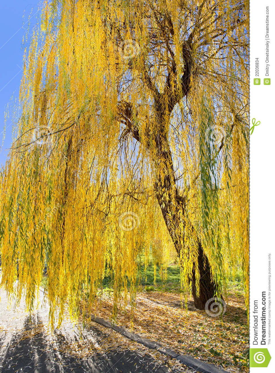 Beautiful Leaf Hd Wallpaper Yellow Willow Tree In Sun Rays In Fall In The Park Stock