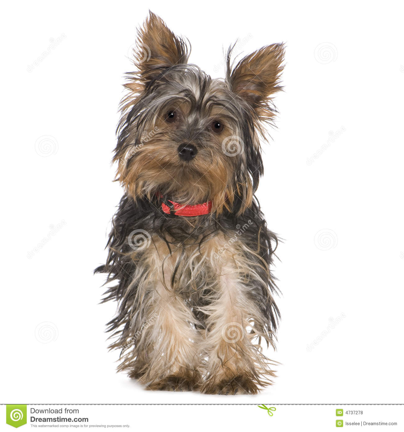 Yorkshire 4 Meses Yorkshire Terrier 5 Months Stock Photo Image 4737278
