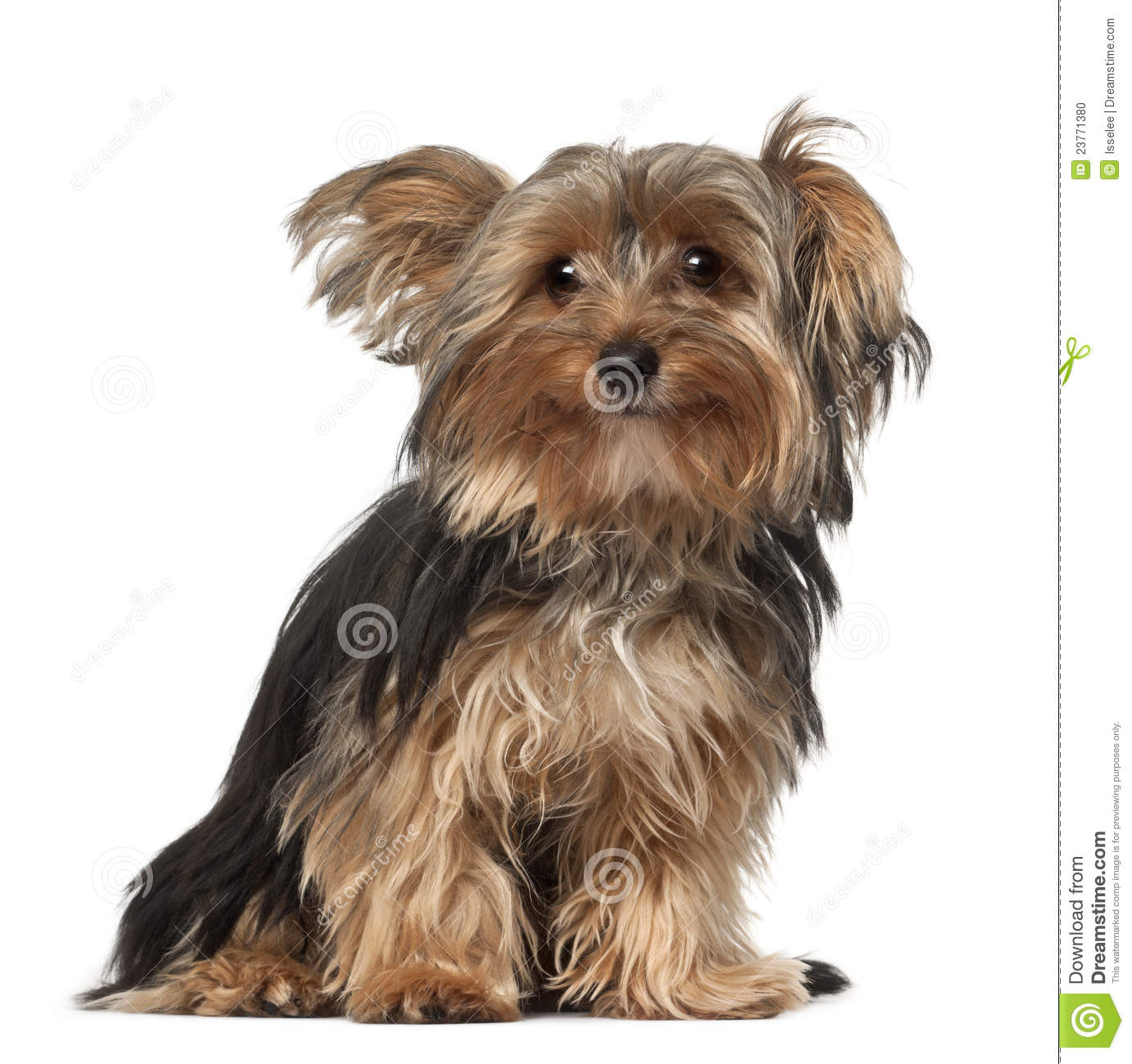Yorkshire 4 Meses Yorkshire Terrier 8 Months Old Stock Photo Image Of