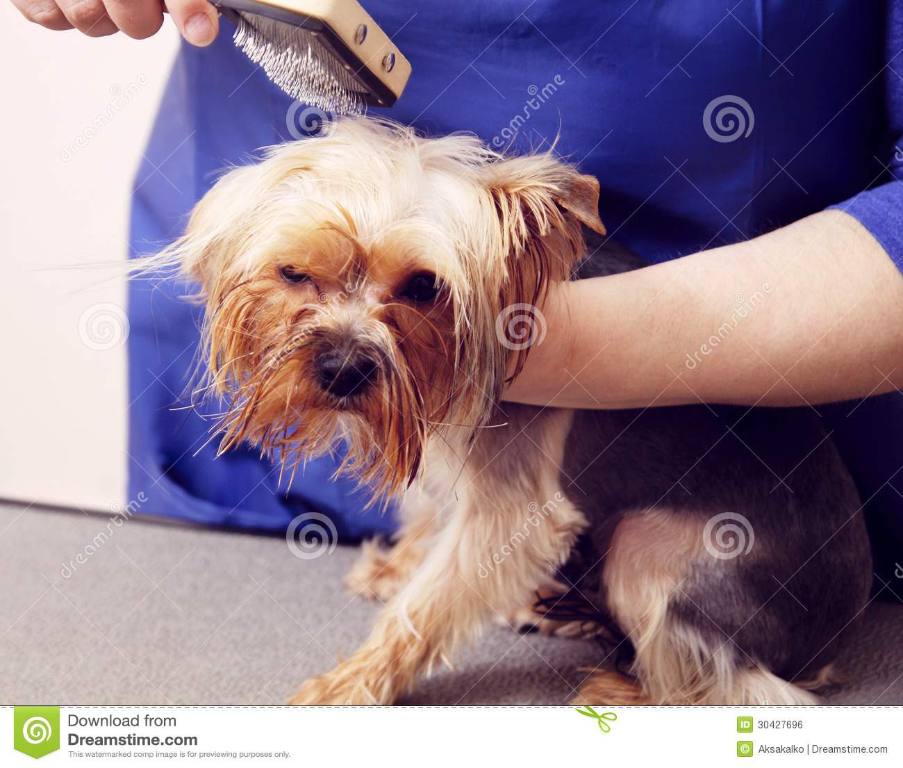 Coiffure Yorkshire Yorkshire Terrier Obtenant Sa Coupe De Cheveux Photo Stock