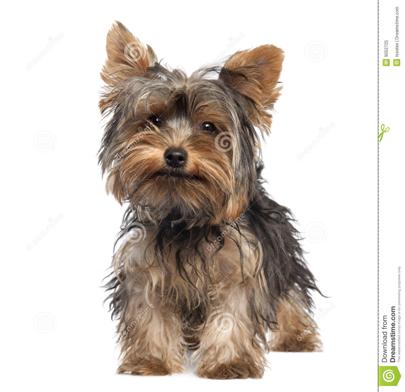 Yorkshire 4 Meses Yorkshire Terrier Puppy 5 Months Old Royalty Free Stock