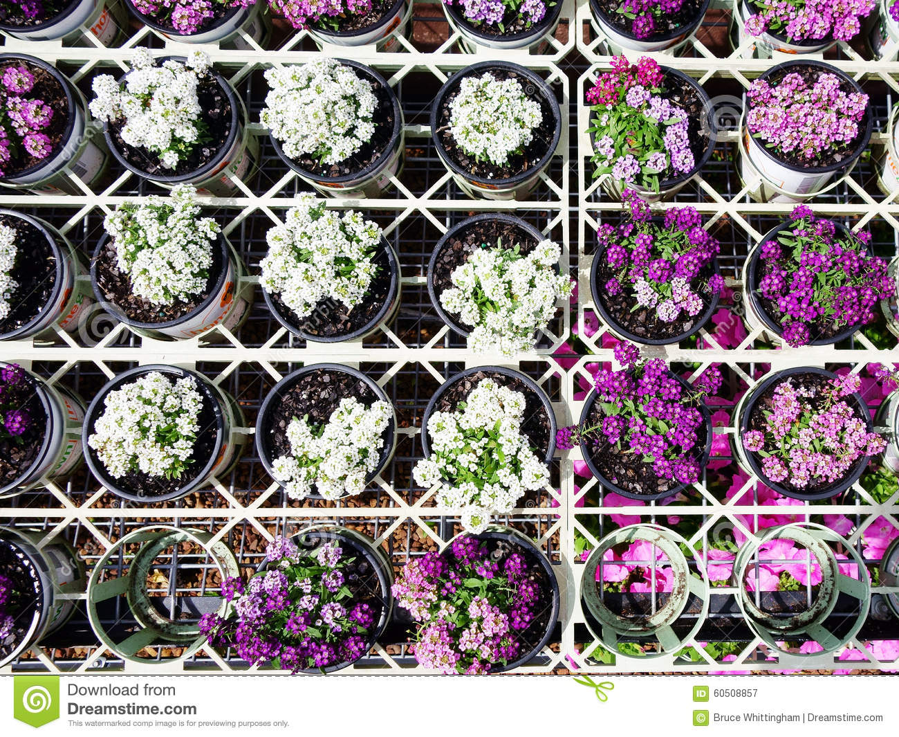 White Flower Pots For Sale Young Petunia Flowers Stock Photo Image 60508857