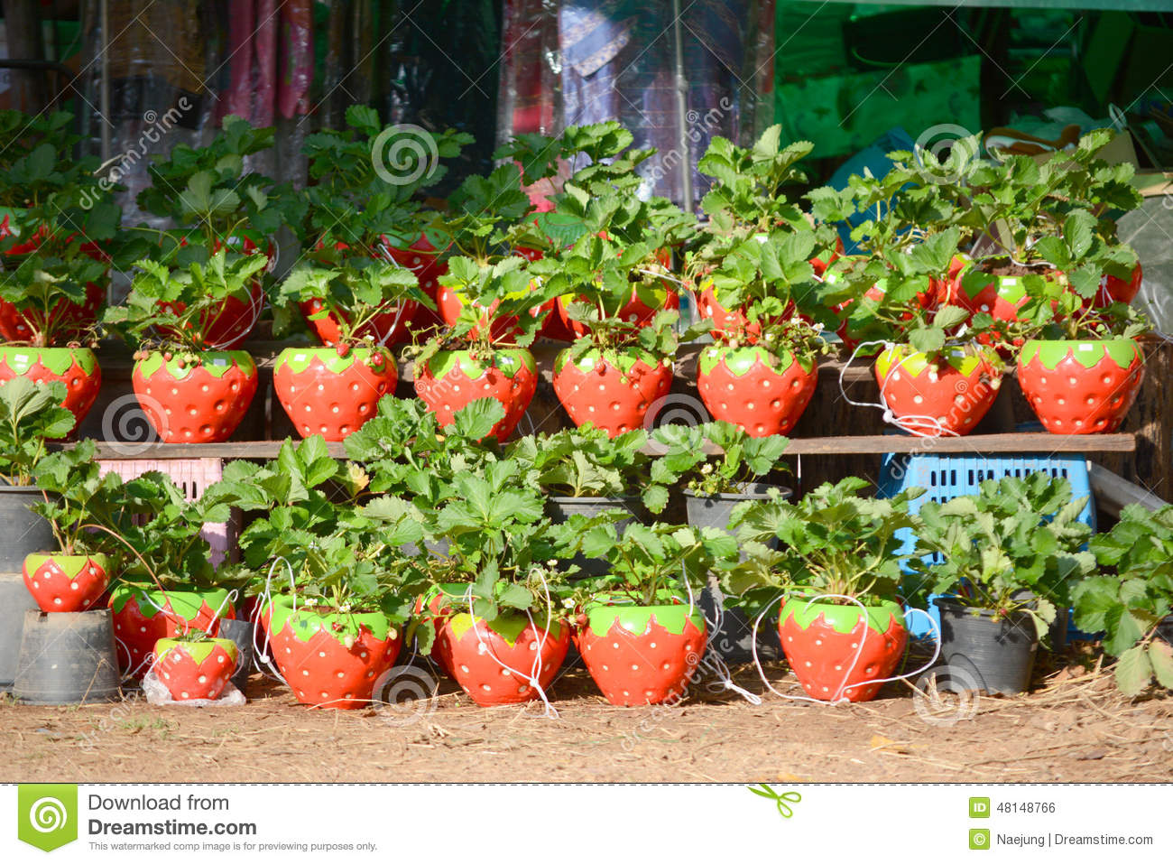 Plant Pot Sale Young Strawberry Plant Stock Photo Image Of Dirt Grow