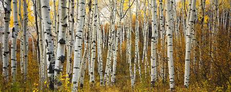 Birch Tree Fall Wallpaper Close Up Stunning Quot Aspen Tree Trunks Quot Artwork For Sale On Fine Art