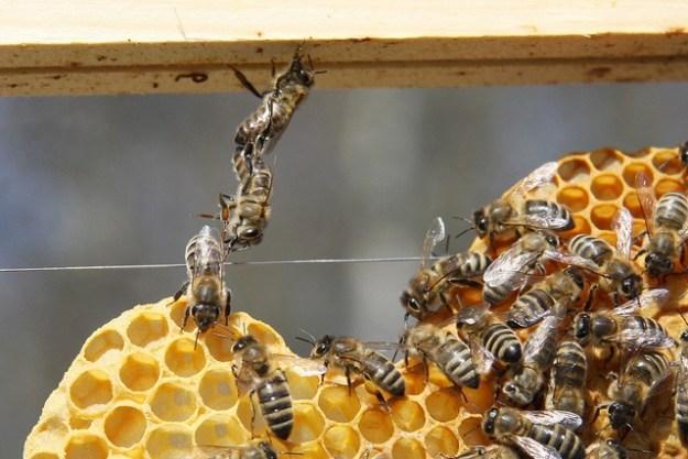 Honigbienen im Verbund beim Wabenbau.