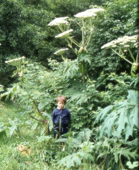 Der Riesen-Bärenklau ist eine Giftpflanze.