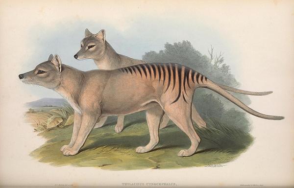 Der Beutelwolf wird auch Beuteltiger genannt und war das größte fleischfressende Beuteltier.