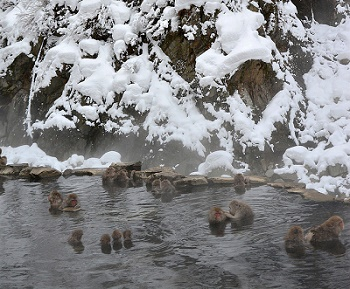 Die Schneeaffen genießen das Baden im warmen Wasser mit Fellflege.