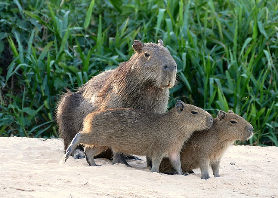 Wasserschweine ziehen sich zur Nachtruhe in Dickichte zurück.
