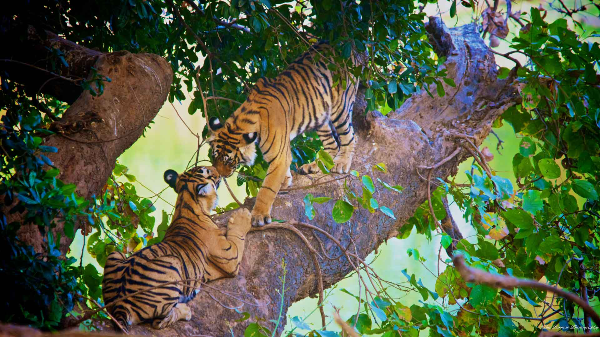 Bengal Tigers From National Geographic Bengal Tiger Research Ranthambore Never Disappoints Tigerwalah