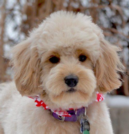 Medium Of Poodle Puppy Cut
