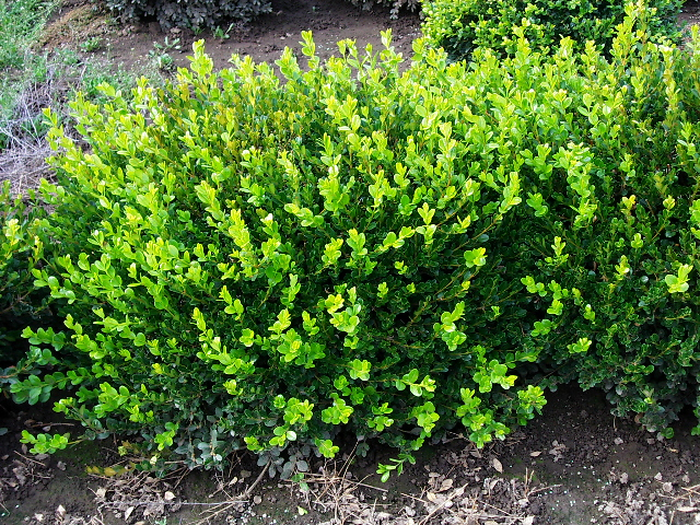 Boxwood Plant Of The Monthdecember Timberpine Unplugged