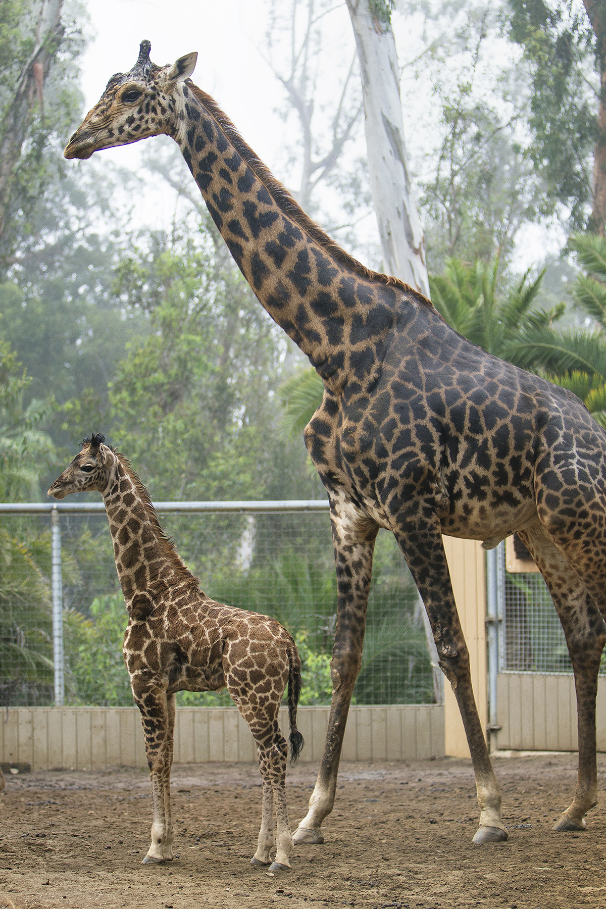 Obi Herd Short Giraffe At San Diego Zoo Is Rapidly Growing Times Of San
