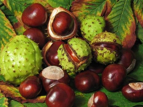 Aesculus_hippocastanum_fruit seed