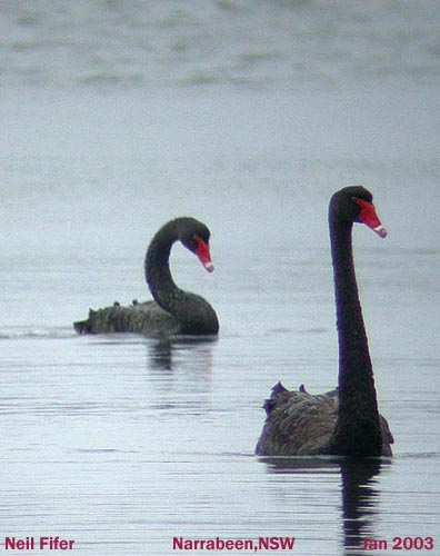 black_swanpair
