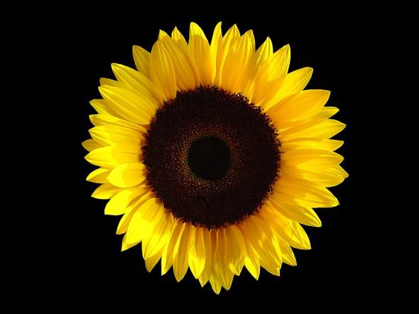 Background Wallpaper Quote Sunflower 171 Timo Elliott
