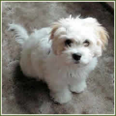 Cute Shih Tzu Puppies Wallpaper Timshell Farm Cavachon Puppies Mollyanna