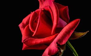flower-roses-red-roses-bloom