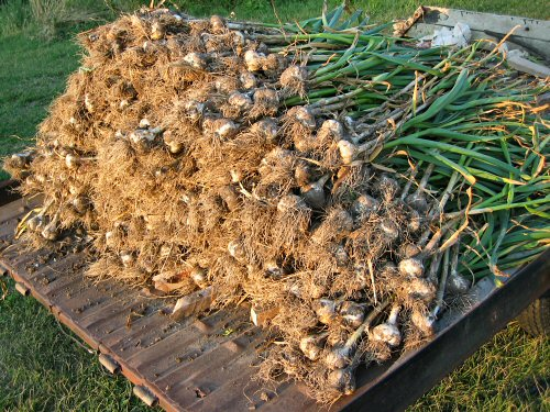 First garlic harvest