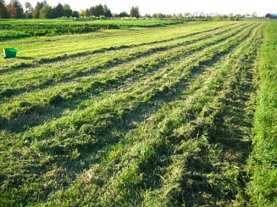 Grass and alfalfa cut for mulch
