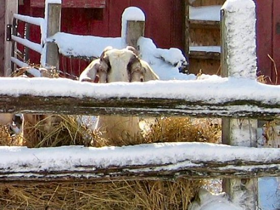 Goats like snow