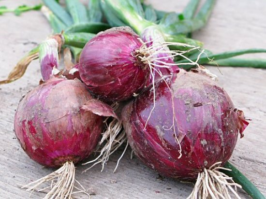 Red onions grown from seed