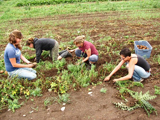 Hand-digging potatoes: All together now...
