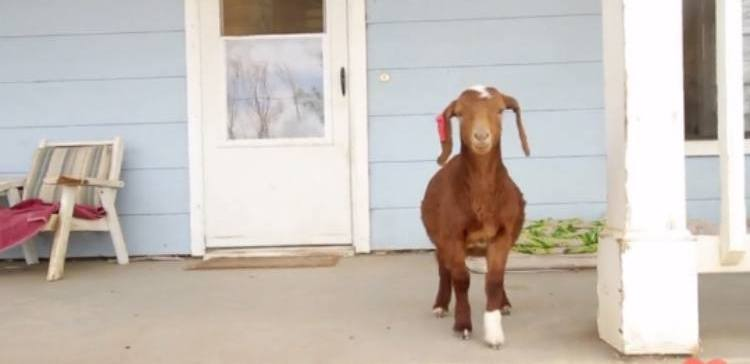 Baby goat found wandering on street has a new happy home