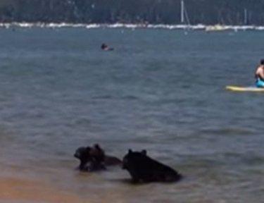 Bears swim in Lake Tahoe.