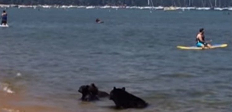 Bears swim in Lake Tahoe.