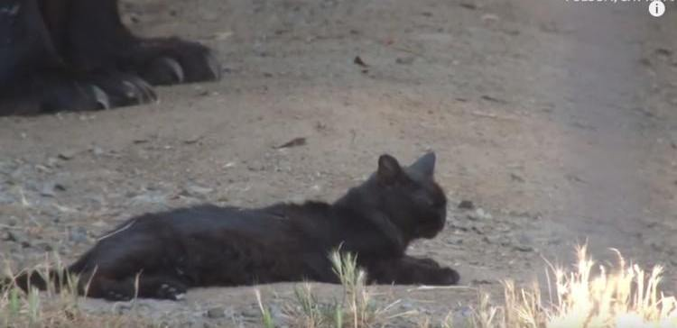 Cat lives in the enclosure of a black bear.