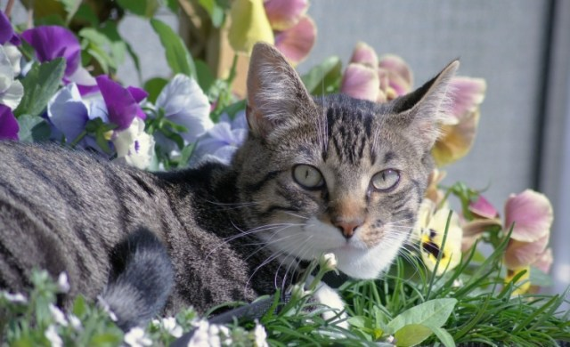 Grey cat lying in bed of flowers