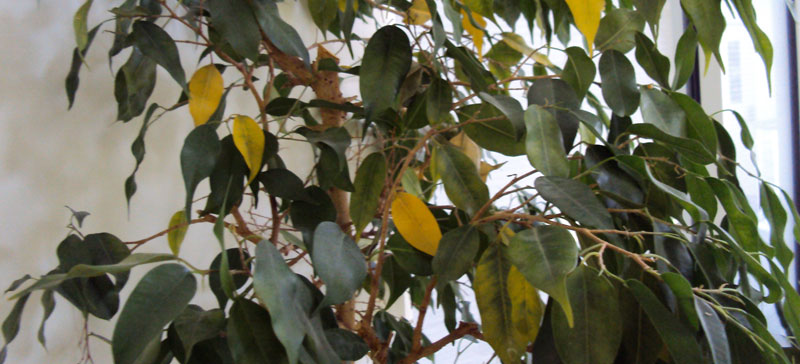 My Ficus Tree Dying: 8 Reasons For The Plant Degradation