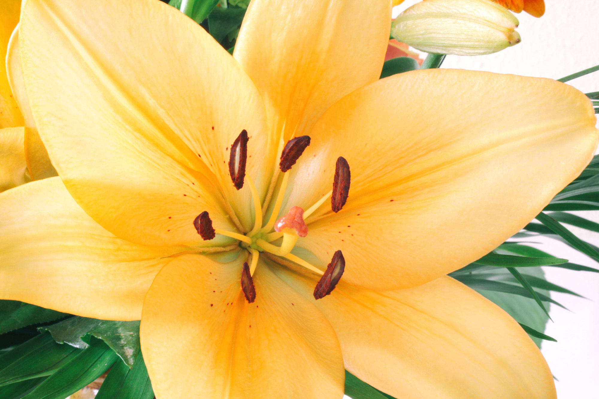 Lily Blossom Free Images Download Titania Foto