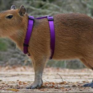 World's Biggest Rat Capybara Harness