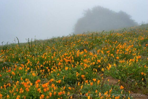 Awesome field of California poppies near the summit.