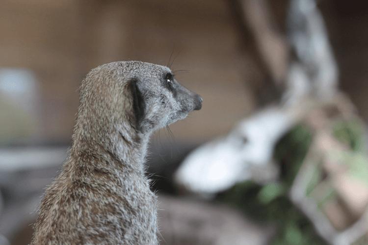 Meercat at Blackpool Zoo