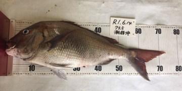 20190614 真鯛 よっちゃん 74.5cm