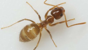 Rasberry crazy ants confirmed in the Lower Rio Grande Valley