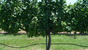 Growers to learn how to keep pests out of vineyards at March 27 workshop