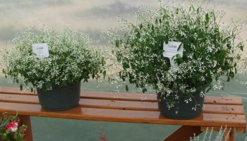 Baby's Breath euphorbia a Texan plant at heart