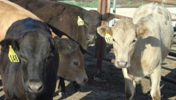 Forage, corn feed alternative for cattle may come from biodiesel industry