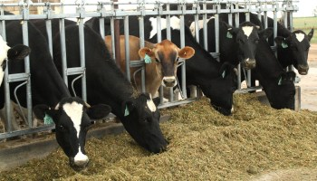 AgriLife Research: Dairy study to determine how breed and herd longevity are related