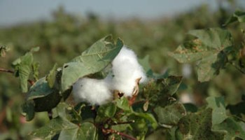 Potential shift in Texas cotton acres could occur as grain prices continue upward trend
