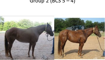 Body condition score modeling system part of broodmare equine research