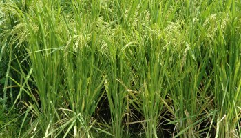 Texas rice crop struggles through cooler temperatures, water supply issues