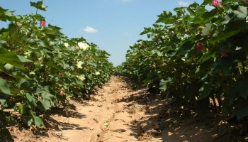 Texas crop, weather for Aug. 6, 2013